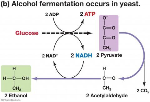 fermentationdiag