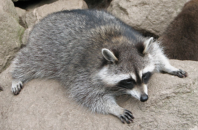 Photo of raccoon by via Wikimedia Commons
