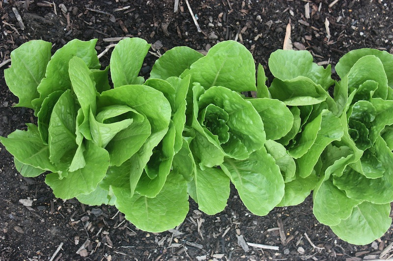 Photo of lettuce by Virginia C. McGuire