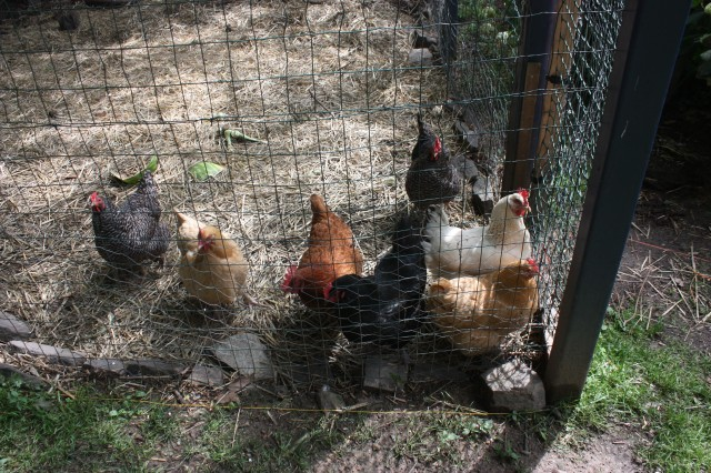 chicken_cluster_at_the_door