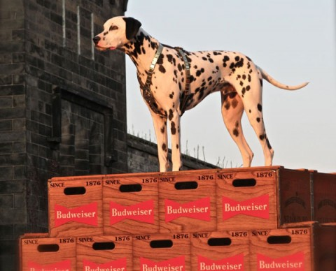 dalmation-clydesdales-fairmount