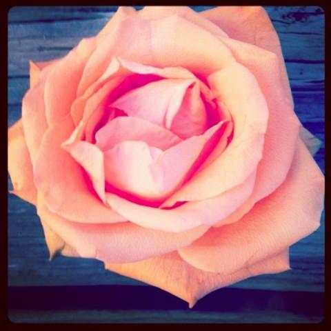 pink-rose-pop-up