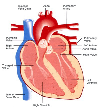 On body diagram heart valves electrical work wiring diagram a primer on heart valve disease philadelphia magazine rh phillymag com real heart valves heart valve ccuart Image collections