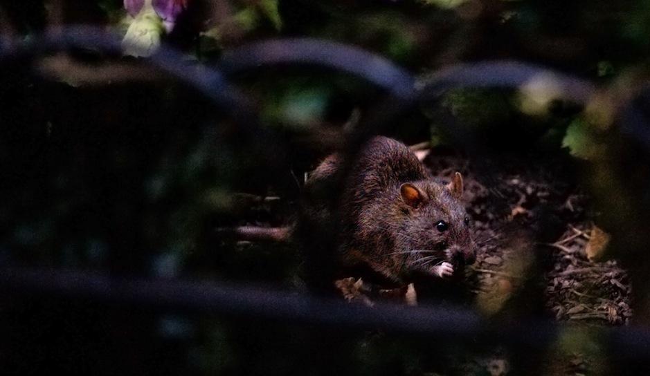 rittenhouse rat