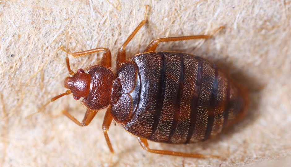 shutterstock_bedbug-940x540