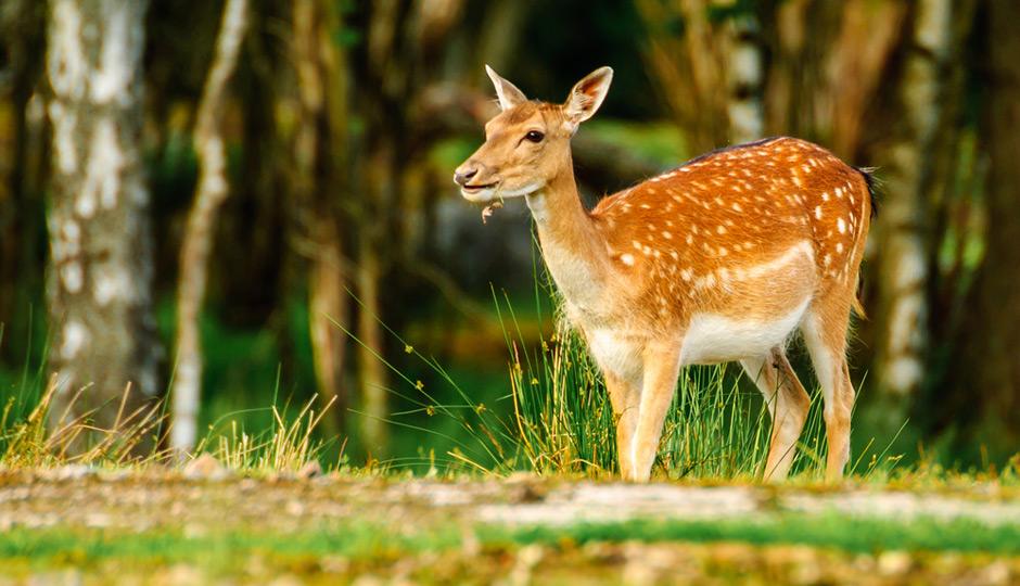 shutterstock_deer-940x540