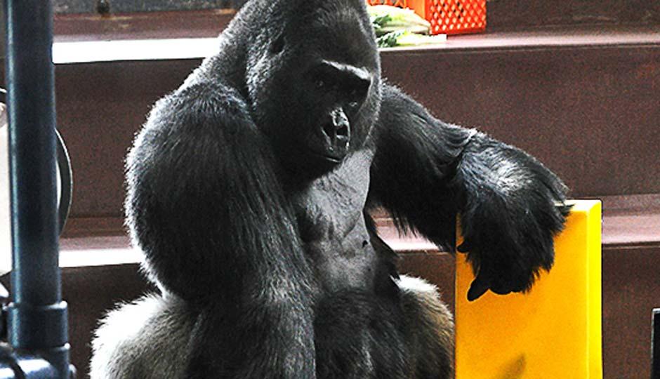 gorilla-large