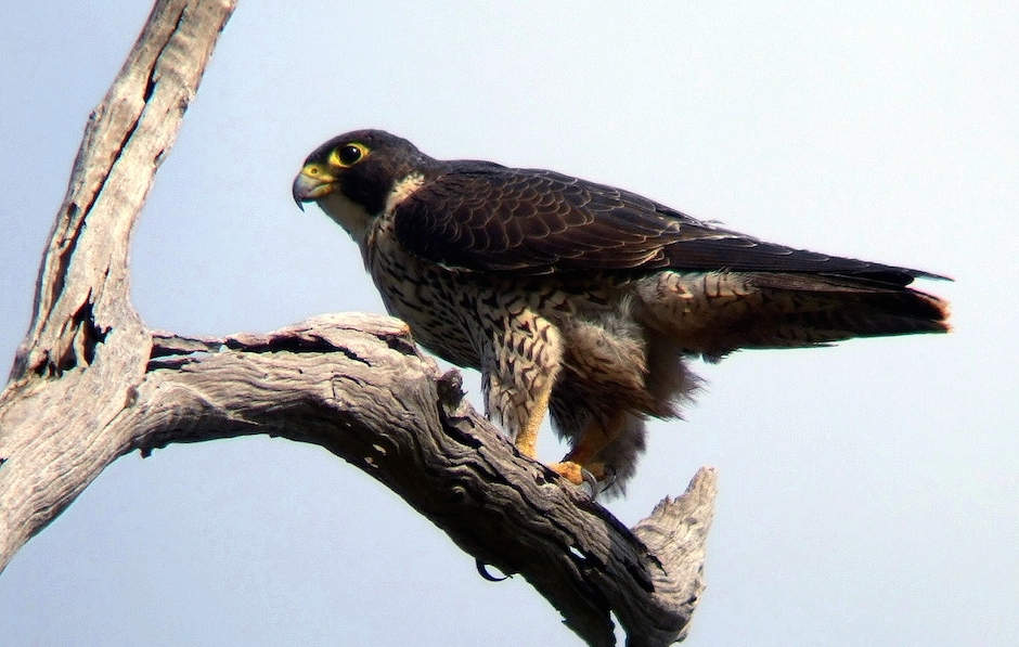 Peregrine_Falcon_Kobble_Apr07