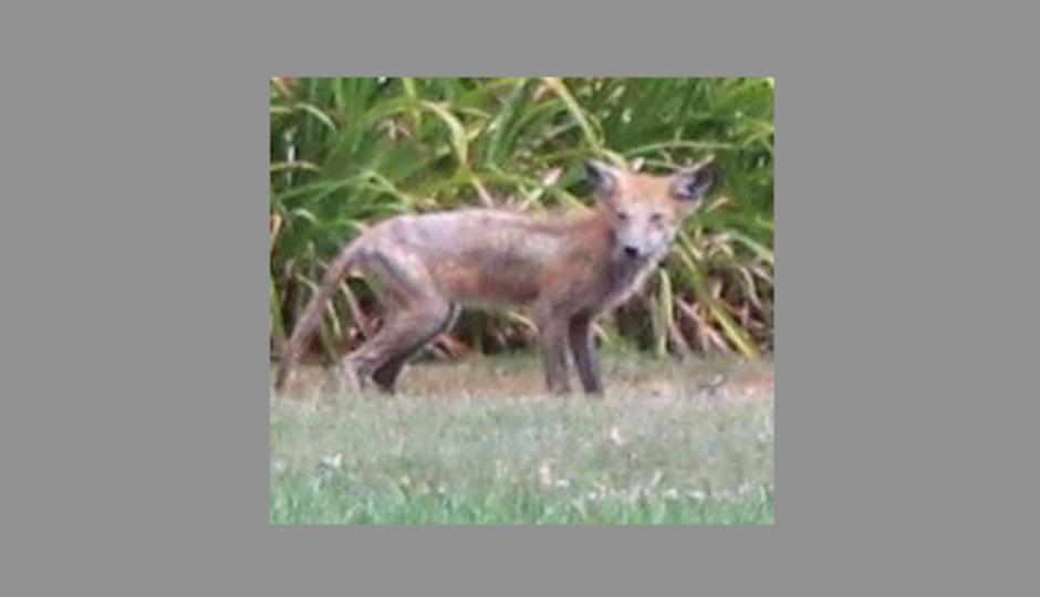 lemoyne-animal-fox-west-shore-police-940x540