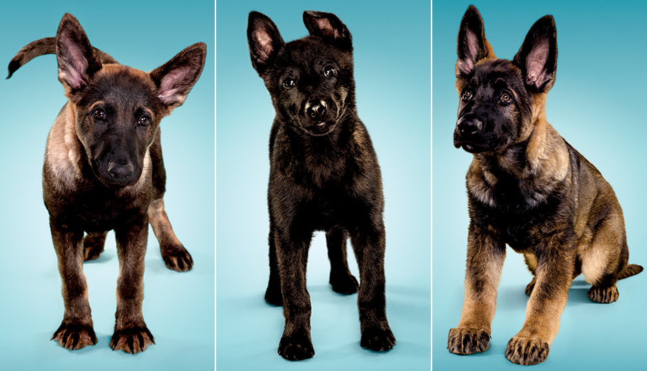 How the penn working dog center turns puppies into saviors logan german shepherd felony dutch shepherd and quest german solutioingenieria Images