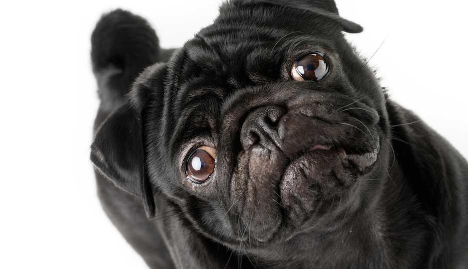 shutterstock_sad-puppy-pug-940x540