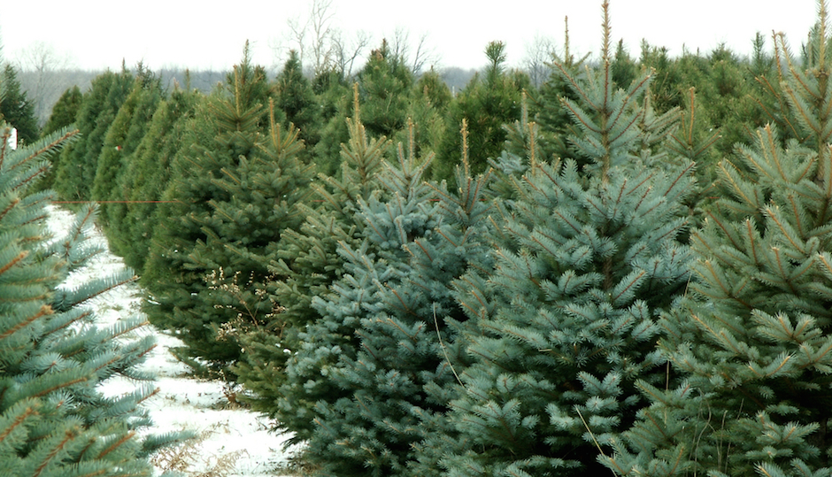 Christmas Tree Farms in Pennsylvania and New Jersey: Where to Cut Your Own Christmas Tree