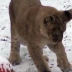 philly-zoo-lion-cubs-first-snow