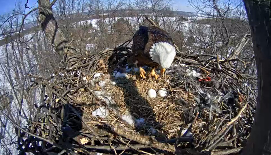 Earlier today on the Hanover, Pennsylvania, Eagle Cam.