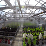 The greenhouse where Penn scientists are growing plants packed with vaccines. | Photo credit: screenshot of Urban Engineers video.