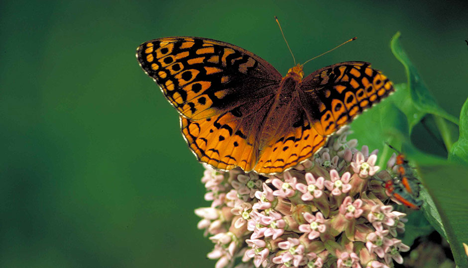 """Great spangled fritillary on common milkweed butterfly speyeria cybele"" by Barnes Dr Thomas G, U.S. Fish and Wildlife Service - http://www.public-domain-image.com/public-domain-images-pictures-free-stock-photos/fauna-animals-public-domain-images-pictures/insects-and-bugs-public-domain-images-pictures/butterflies-and-moths-pictures/great-spangled-fritillary-on-common-milkweed-butterfly-speyeria-cybele.jpg. Licensed under Public Domain via Wikimedia Commons."