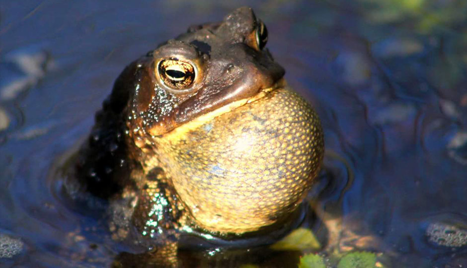 american-toad-dave-fitzpatrick-940x540