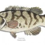 tautog-blackfish-940