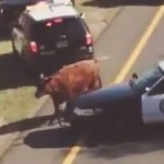 A cow on I-295 in Hamilton, New Jersey.