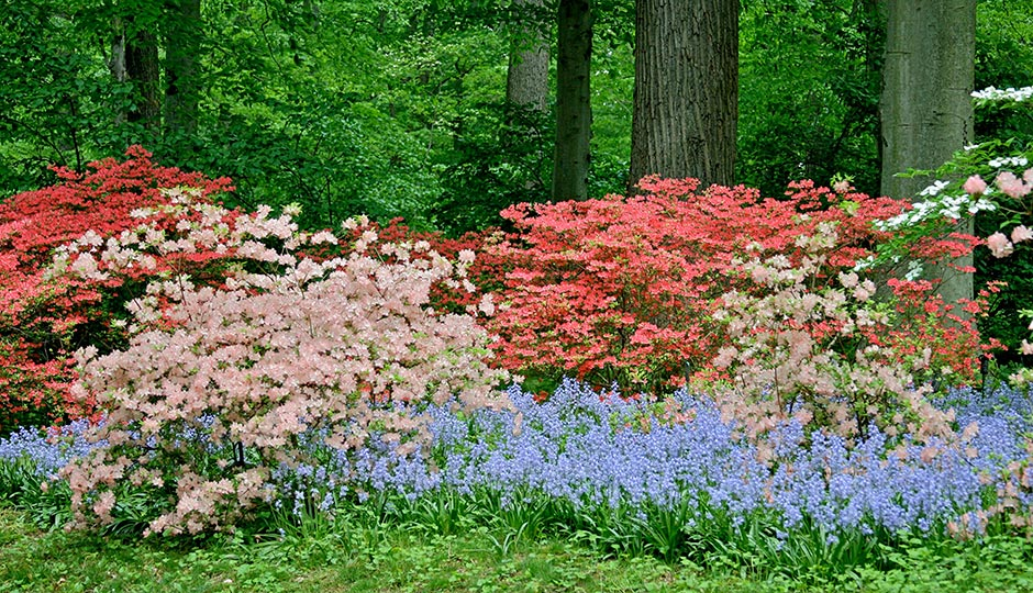 Azaleas and Bluebells in the Winterthur Garden. Photo | Courtesy of Winterthur, by Jeannette Lindvig