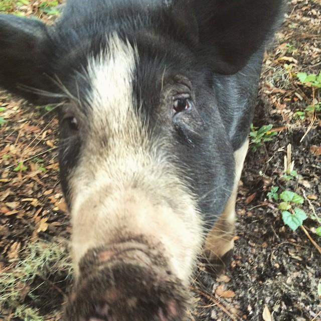 aldine pig