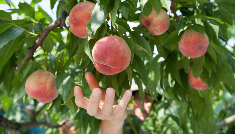 Where To Pick Your Own Peaches Near Philly Be Well Philly