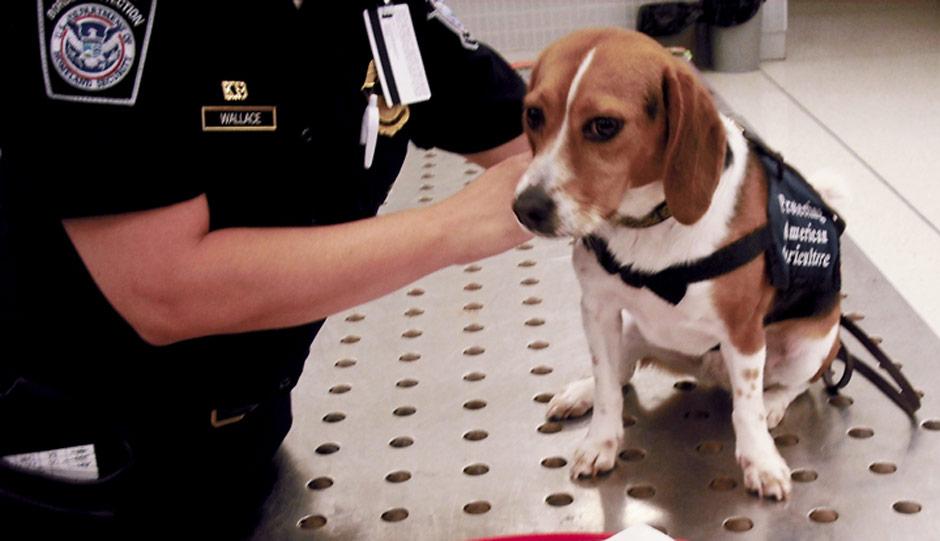 K9 Beagle Auburn - Customs and Border Protection
