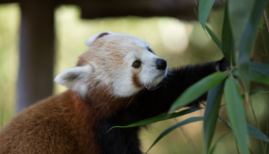 red-panda-cubs-philadelphia-zoo