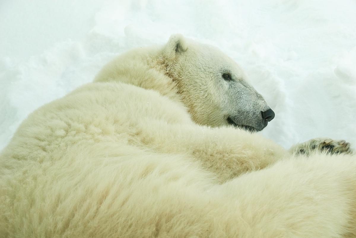 polar-bear-philadelphia-zoo