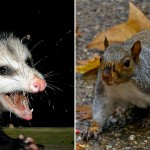 "Possum: ""AwesomePossum-AmericanOpossum"" by PiccoloNamek at the English language Wikipedia. Licensed under CC BY-SA 3.0 via Commons. Squirrel: ""Eastern Gray Squirrel Philadelphia, PA"" by HRae at English Wikipedia. Licensed under CC BY-SA 3.0 via Wikimedia Commons."