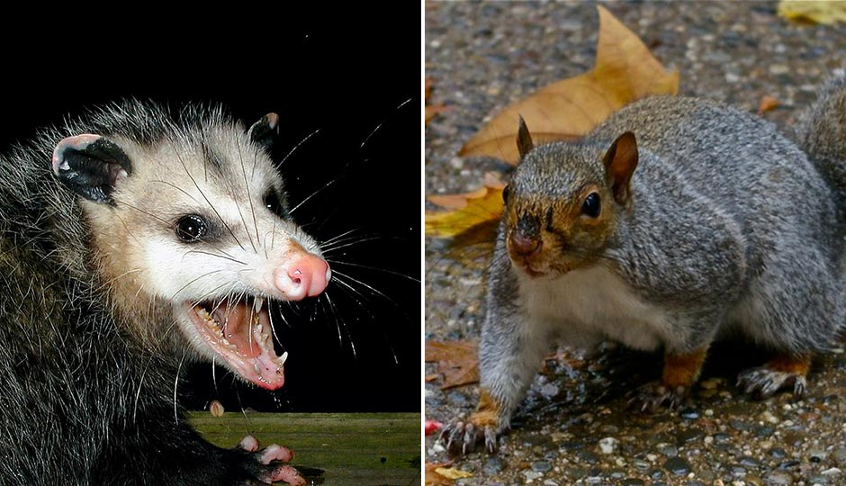 "Possum: ""AwesomePossum-AmericanOpossum"" by PiccoloNamek at the English language Wikipedia. Licensed under CC BY-SA 3.0 via Commons. Squirrel: ""Eastern Gray Squirrel Philadelphia, PA"" by HRae at English Wikipedia. Licensed under CC BY-SA 3.0 via Wikimedia Commons."