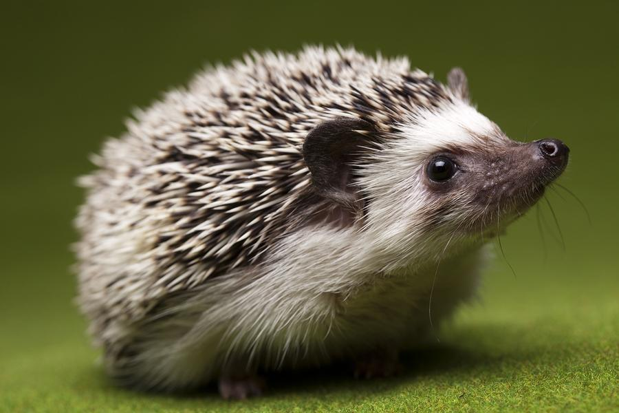 No, not this kind of hedgehog.