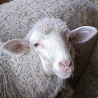 antonella le virtu sheep 400