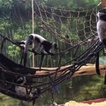 lemurbabies