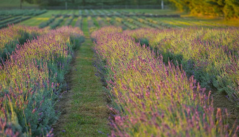 Photo courtesy Carousel Farm Lavender