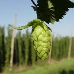 hops2-1