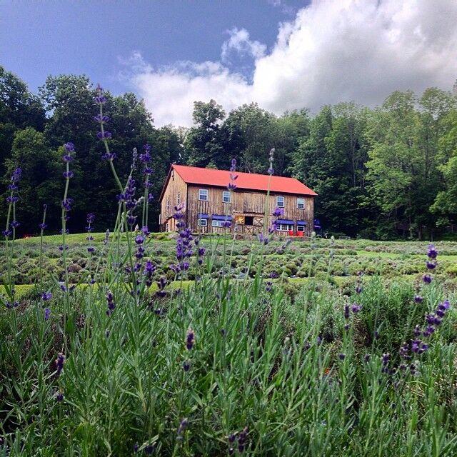 Peace Valley Lavender Farm   Kris