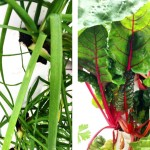 Aeroponic chives and Swiss chard grown in the mobile greenhouse | Photos via Instagram