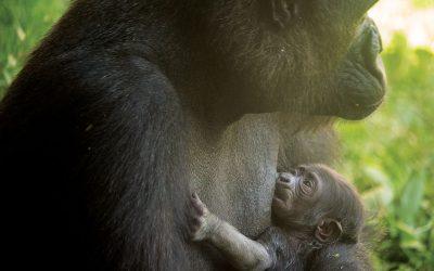 Baby gorilla at Philadelphia Zoo