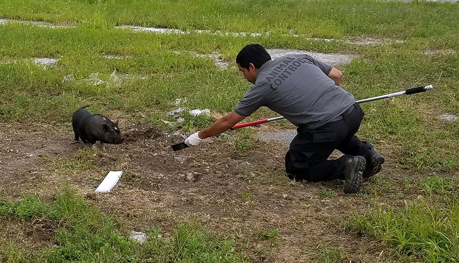 An animal control officer and a pig in South Philly