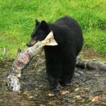Radnor Black Bear