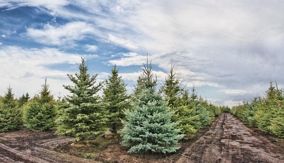 Christmas Tree Farms in Pennsylvania and New Jersey | Be Well Philly