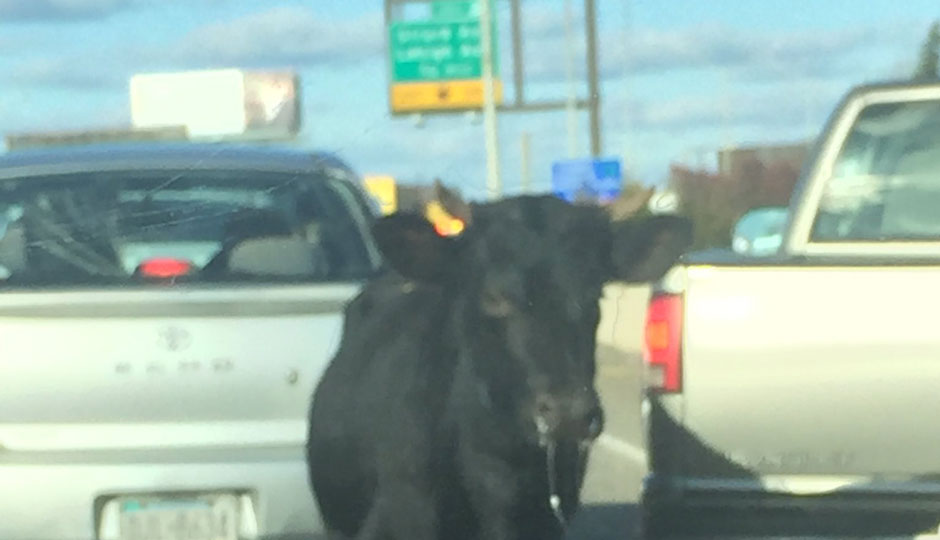 a cow on I-95