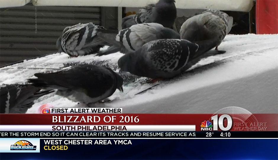 pigeons-nbc10