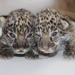 Elmwood Park Zoo - jaguar cubs