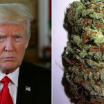 Donald trump split photo with marijuana bud