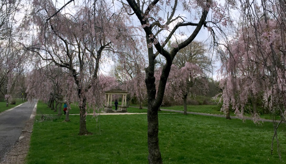 cherry blossoms in fairmount park