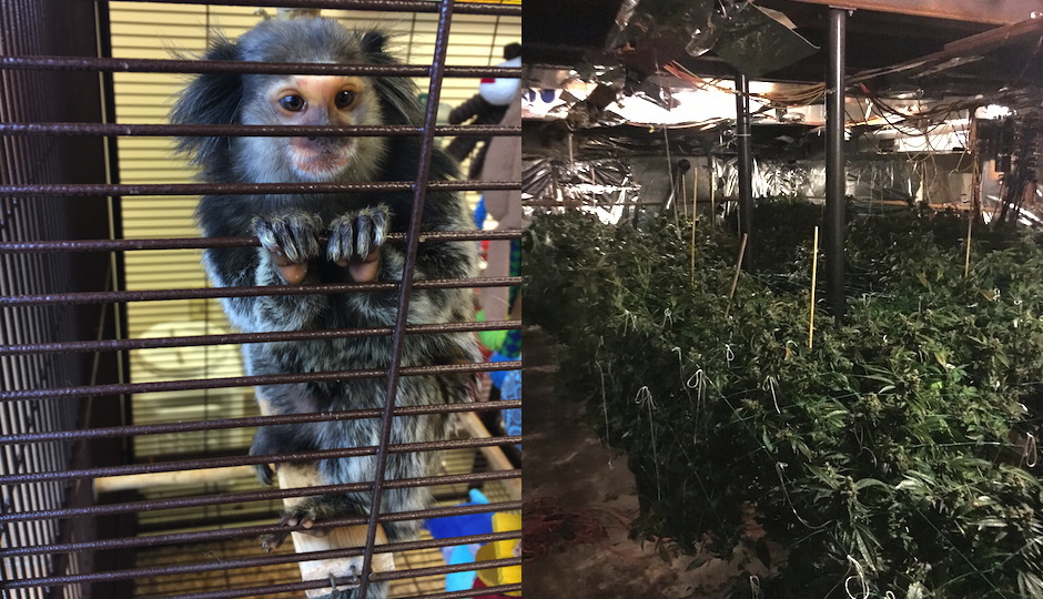 The monkey and the marijuana. (Photos courtesy the Berks County Animal Rescue League and the North Coventry Township Police Department)