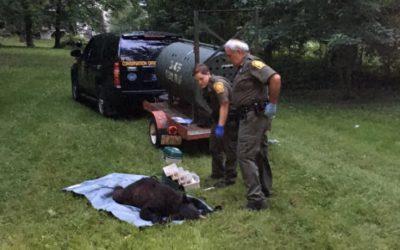 bucks county black bear