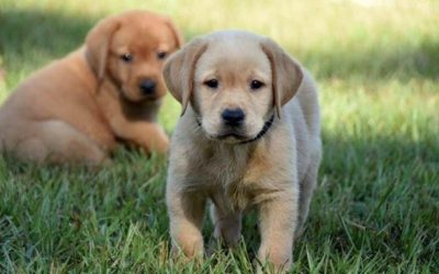 ppd, puppies